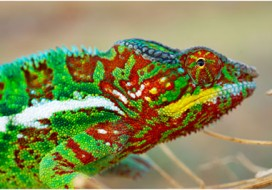 Photonic crystals cause active color change in chameleons